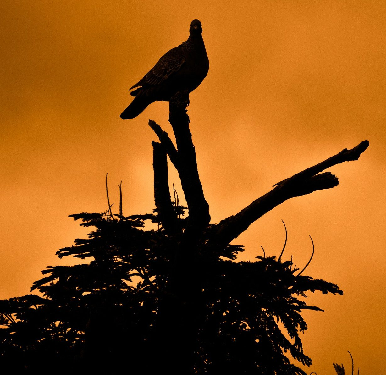 Dove on a tree silhouetted against an orange sky
